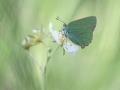 grüner Brombeerzipfelfalter-9781