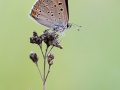Feuerfalter-Lilagold(Lycaena hippothoe)-2