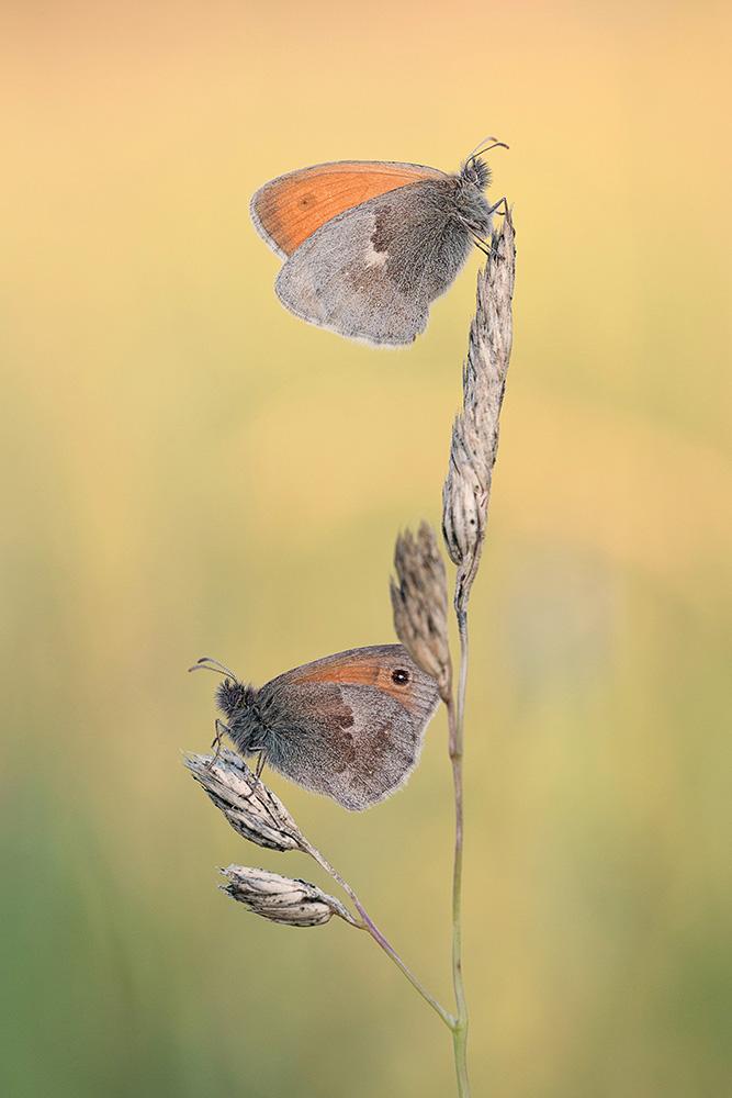 kleines Wiesenvögelchen-(Coenonympha pamphilus)