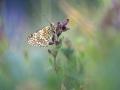 Flockenblumen Scheckenfalter-8164