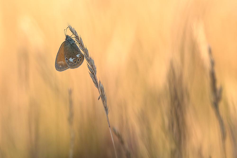 braunes Wiesenvögelchen-2911