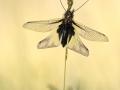 Schmetterlingshaft-4