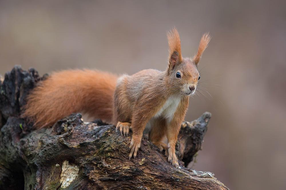 Eichhörnchen-8082