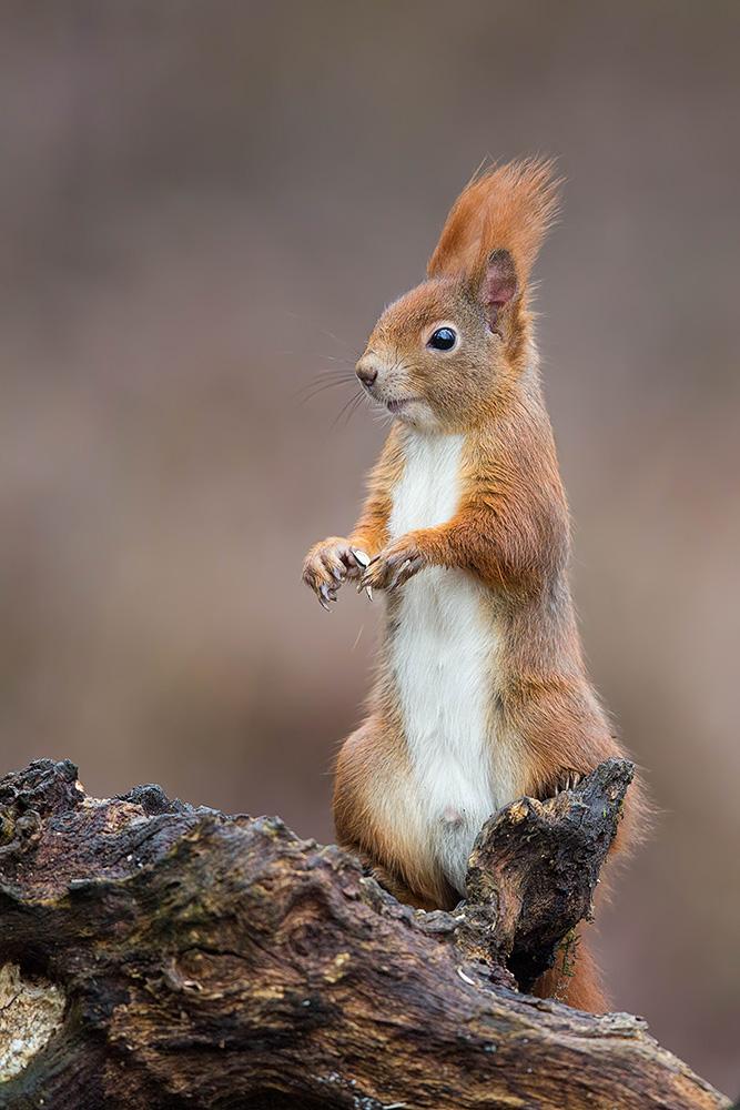 Eichhörnchen-8130