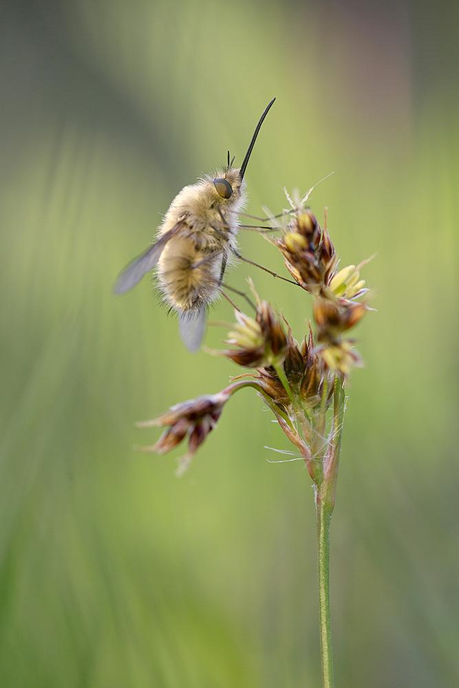Wollschwebfliege