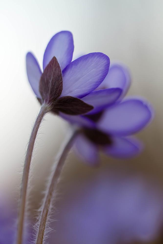 Leberbluemchen