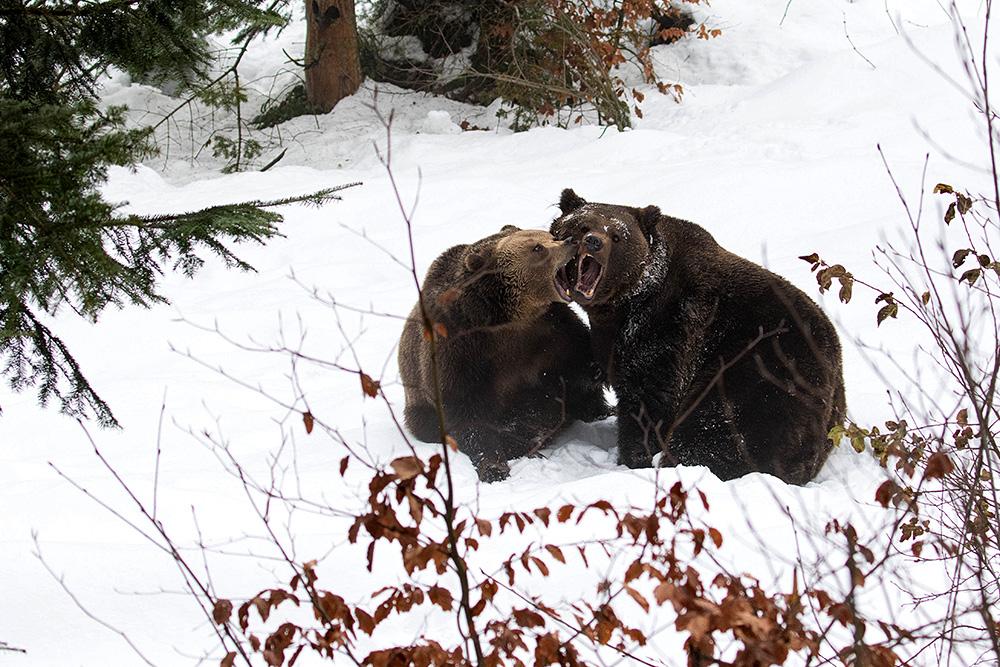 Braunbären-1931