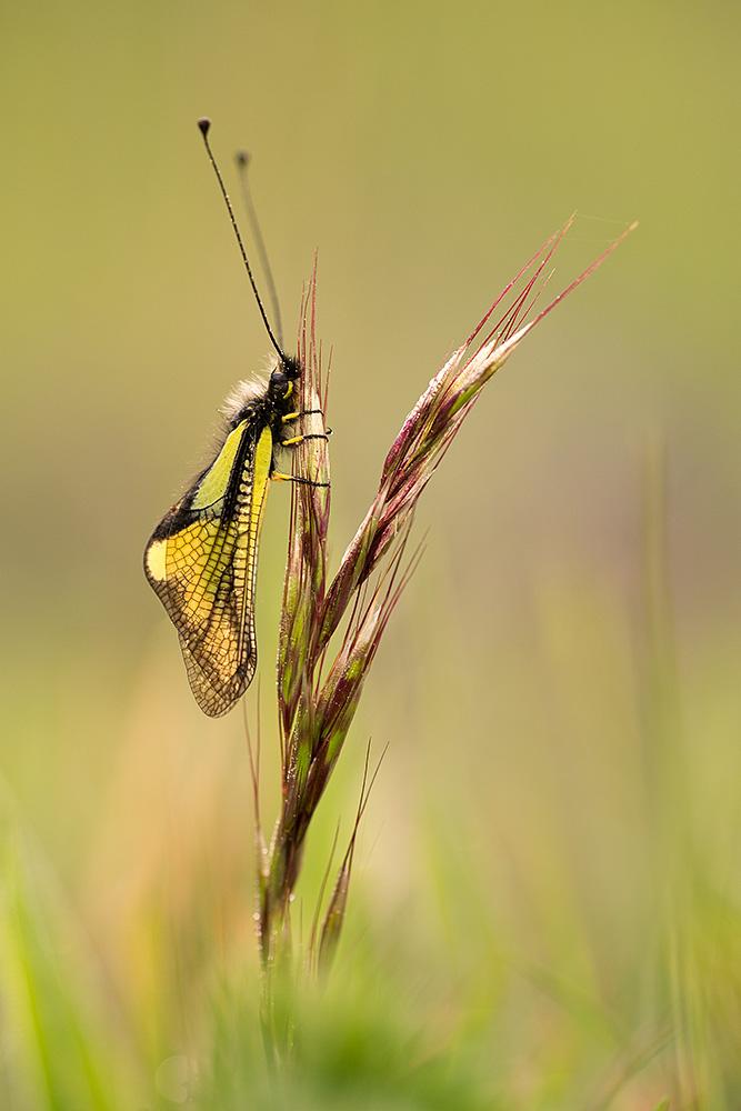 Schmetterlingshaft-2