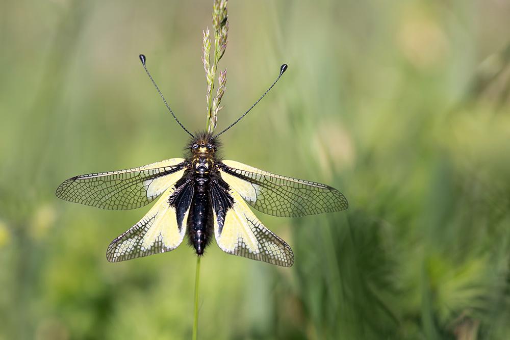 Schmetterlingshaft-5