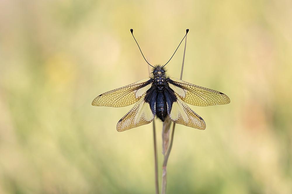Schmetterlingshaft-5469
