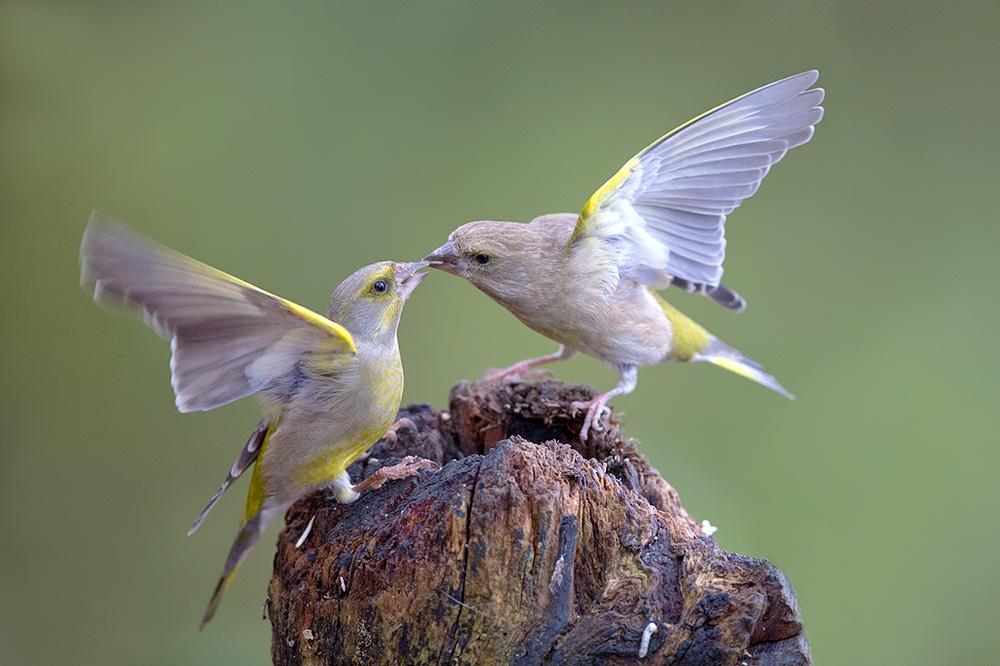 Gruenfinken
